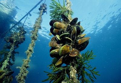 New Zealand mussel