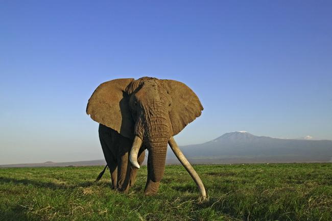 African elephants (Loxodonta africana sp.); Amboseli National Park, Kenya